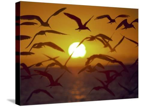 Sunset and Seagulls on Green Key, Port Richey-Dennis Macdonald-Stretched Canvas Print