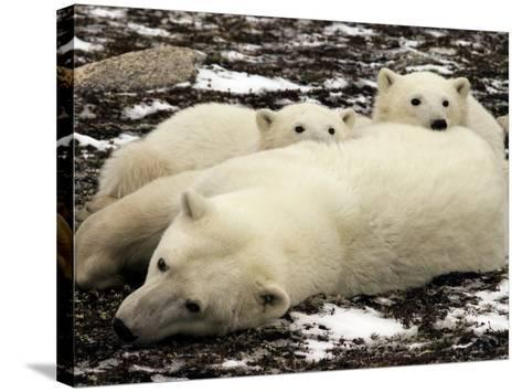 Polar Bear, Mother and Cubs, Ursus Maritimus-Yvette Cardozo-Stretched Canvas Print