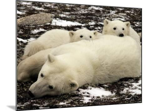 Polar Bear, Mother and Cubs, Ursus Maritimus-Yvette Cardozo-Mounted Photographic Print