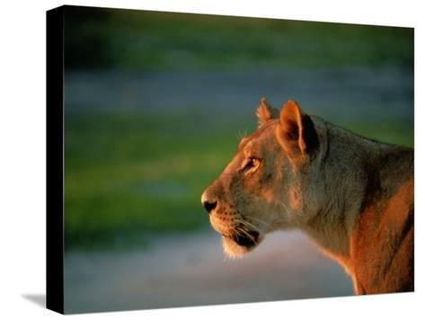 A Lioness Attentively Watching a Herd of Zebras-Beverly Joubert-Stretched Canvas Print
