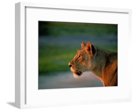 A Lioness Attentively Watching a Herd of Zebras-Beverly Joubert-Framed Art Print