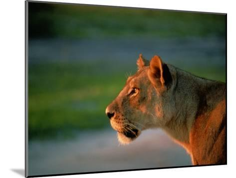 A Lioness Attentively Watching a Herd of Zebras-Beverly Joubert-Mounted Photographic Print