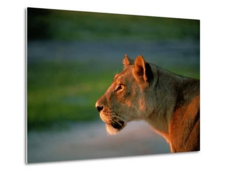 A Lioness Attentively Watching a Herd of Zebras-Beverly Joubert-Metal Print