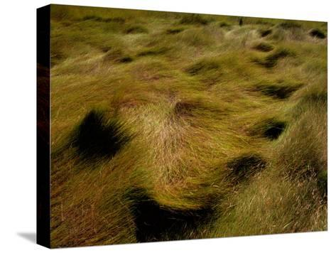 Thick Grasses Blow in the Wind-Todd Gipstein-Stretched Canvas Print