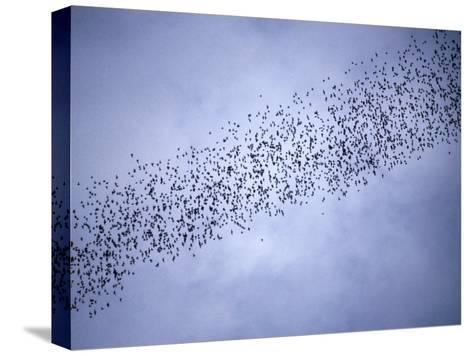 A Huge Group of Bats Emerge from Their Cave at Dusk-Tim Laman-Stretched Canvas Print