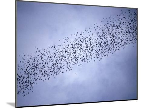 A Huge Group of Bats Emerge from Their Cave at Dusk-Tim Laman-Mounted Photographic Print