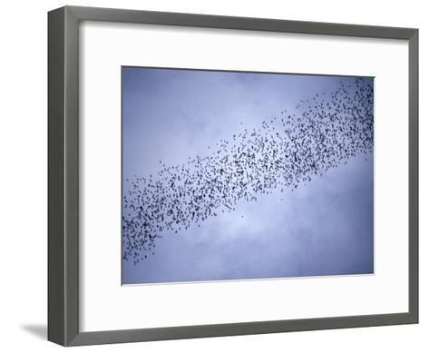 A Huge Group of Bats Emerge from Their Cave at Dusk-Tim Laman-Framed Art Print