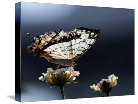 A Close View of a Map-Wing Butterfly on a Flower-Tim Laman-Stretched Canvas Print