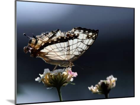 A Close View of a Map-Wing Butterfly on a Flower-Tim Laman-Mounted Photographic Print