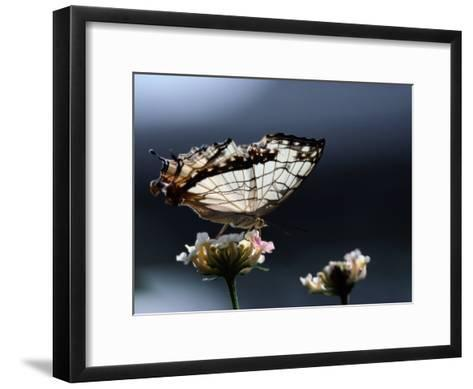 A Close View of a Map-Wing Butterfly on a Flower-Tim Laman-Framed Art Print