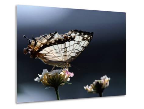 A Close View of a Map-Wing Butterfly on a Flower-Tim Laman-Metal Print