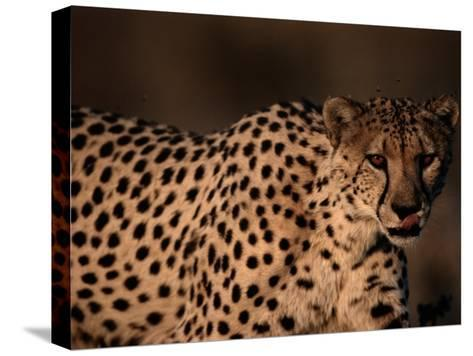 A Portrait of a Hungry African Cheetah-Chris Johns-Stretched Canvas Print