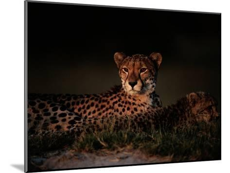 A Female African Cheetah and Her Cub Rest Together in the Early Evening-Chris Johns-Mounted Photographic Print