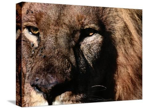 Portrait of a Male African Lion-Chris Johns-Stretched Canvas Print