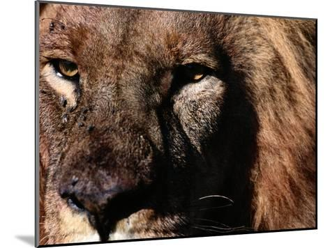 Portrait of a Male African Lion-Chris Johns-Mounted Photographic Print