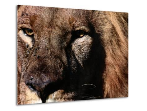 Portrait of a Male African Lion-Chris Johns-Metal Print