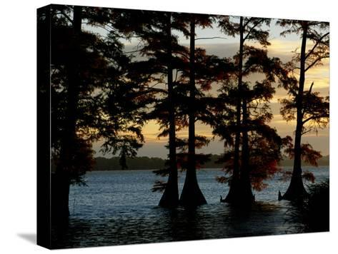 Bald Cypress Trees Growing Along the Banks of Reelfoot Lake-Raymond Gehman-Stretched Canvas Print