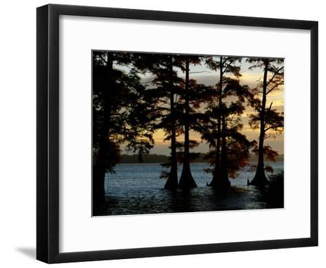 Bald Cypress Trees Growing Along the Banks of Reelfoot Lake-Raymond Gehman-Framed Art Print