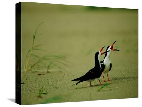 Vocalizing Black Skimmer Birds-James P^ Blair-Stretched Canvas Print