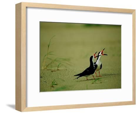 Vocalizing Black Skimmer Birds-James P^ Blair-Framed Art Print