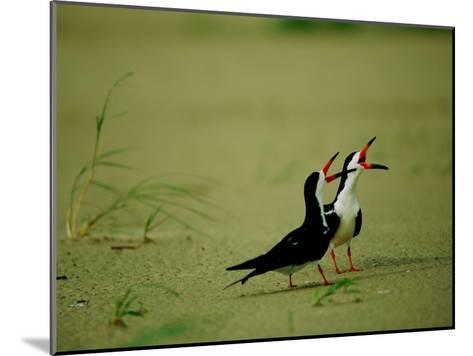 Vocalizing Black Skimmer Birds-James P^ Blair-Mounted Photographic Print