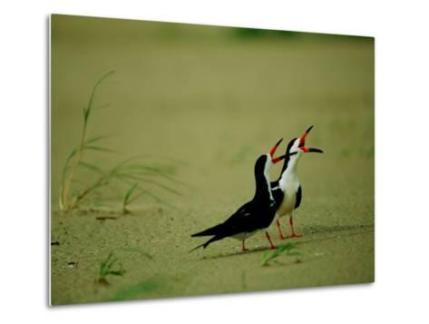 Vocalizing Black Skimmer Birds-James P^ Blair-Metal Print