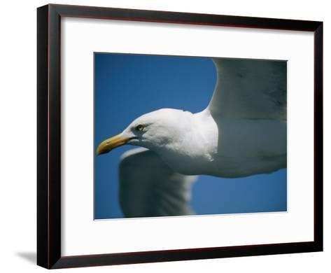 A Close-up of a Seagull in Flight-Todd Gipstein-Framed Art Print