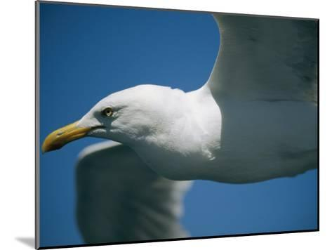 A Close-up of a Seagull in Flight-Todd Gipstein-Mounted Photographic Print