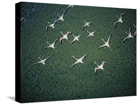 An Aerial View of Flamingos Flying-Chris Johns-Stretched Canvas Print