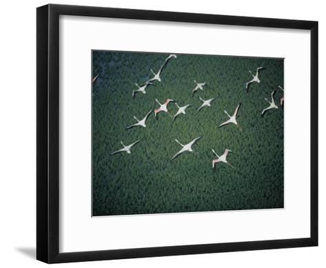 An Aerial View of Flamingos Flying-Chris Johns-Framed Art Print