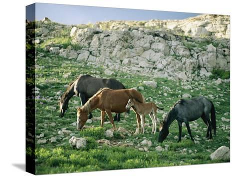 A Group of Wild Horses Graze in the Pryor Mountains-Raymond Gehman-Stretched Canvas Print