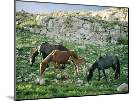 A Group of Wild Horses Graze in the Pryor Mountains-Raymond Gehman-Mounted Photographic Print