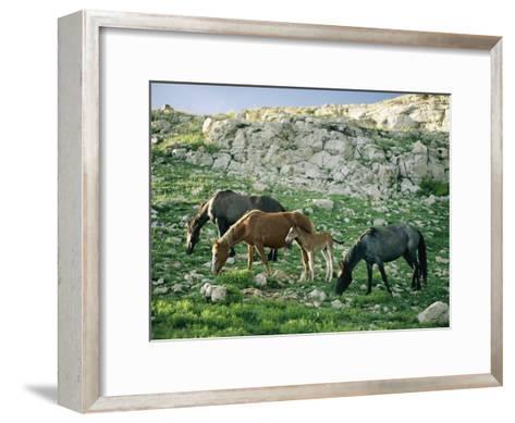 A Group of Wild Horses Graze in the Pryor Mountains-Raymond Gehman-Framed Art Print