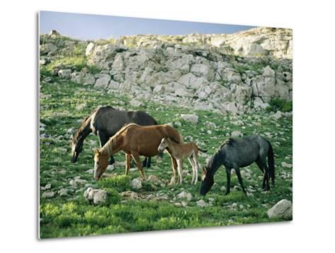 A Group of Wild Horses Graze in the Pryor Mountains-Raymond Gehman-Metal Print