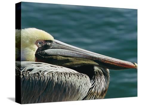 Portrait of a Brown Pelican-Marc Moritsch-Stretched Canvas Print