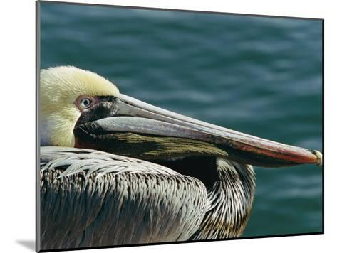 Portrait of a Brown Pelican-Marc Moritsch-Mounted Photographic Print