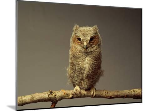 A Screech Owl-Scott Sroka-Mounted Photographic Print