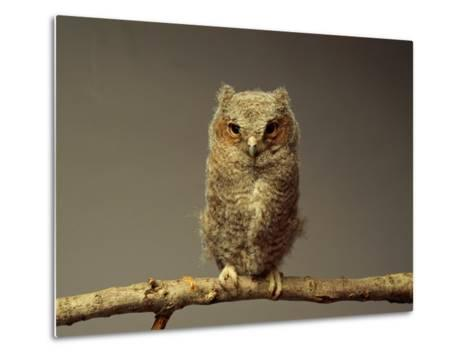 A Screech Owl-Scott Sroka-Metal Print