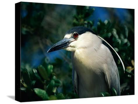 An Adult Black-Crowned Night Heron-Scott Sroka-Stretched Canvas Print