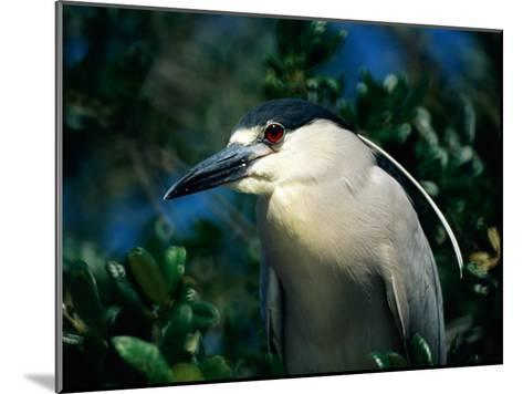 An Adult Black-Crowned Night Heron-Scott Sroka-Mounted Photographic Print