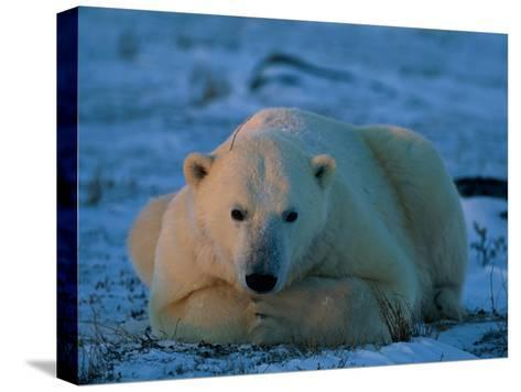 An Adult Polar Bear (Ursus Marititmus) at Ease-Norbert Rosing-Stretched Canvas Print
