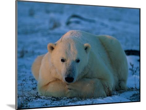 An Adult Polar Bear (Ursus Marititmus) at Ease-Norbert Rosing-Mounted Photographic Print