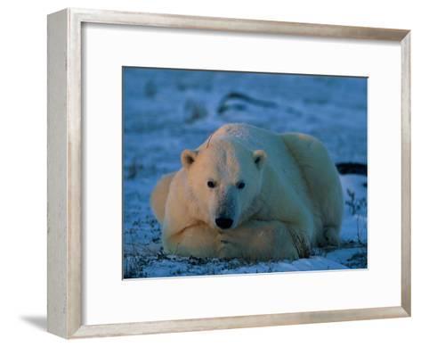 An Adult Polar Bear (Ursus Marititmus) at Ease-Norbert Rosing-Framed Art Print