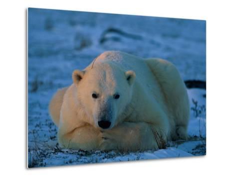 An Adult Polar Bear (Ursus Marititmus) at Ease-Norbert Rosing-Metal Print