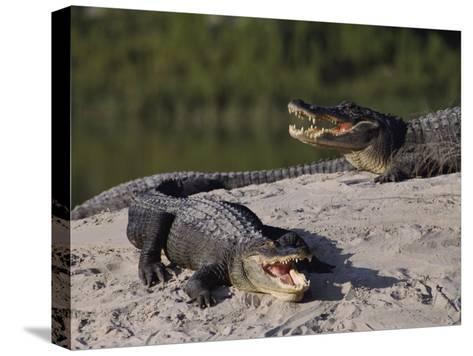American Alligators in a Breeding Pond-Raymond Gehman-Stretched Canvas Print