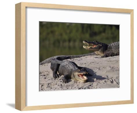 American Alligators in a Breeding Pond-Raymond Gehman-Framed Art Print