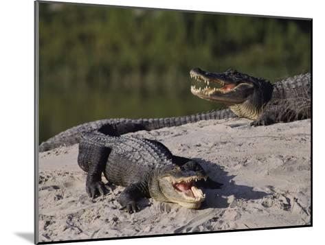 American Alligators in a Breeding Pond-Raymond Gehman-Mounted Photographic Print