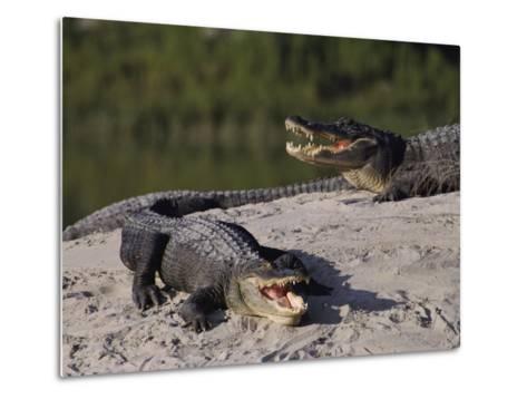 American Alligators in a Breeding Pond-Raymond Gehman-Metal Print