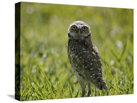 Burrowing Owl-Robert Madden-Stretched Canvas Print