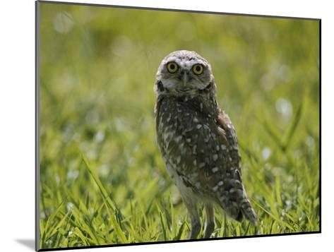 Burrowing Owl-Robert Madden-Mounted Photographic Print